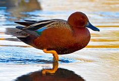 Cinnamon Teal (Anas cyanoptera)  by Jon Miller Waterfowl Hunting, Duck Hunting, Nature Animals, Animals And Pets, Pheasant Mounts, Jon Miller, Duck Mount, Teal Duck, Duck Pictures