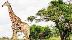 A giraffe, seen on a South African safari