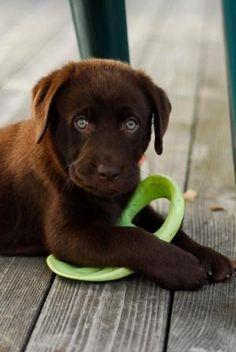 Chocolate Lab Puppy Names [Slideshow] by Hercio Dias