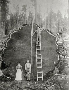 """Image: Loggers and the giant """"Mark Twain"""" redwood cut down in California in 1892 (© N.E. Beckwith/National Geographic Stock)"""