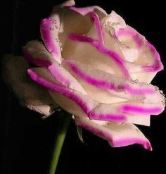 . Amazing Flowers, Beautiful Roses, Beautiful Flowers, Ronsard Rose, Covered Garden, Single Rose, Blossom Flower, Flower Art, Purple Roses