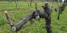 ε (1) Goats, Vineyard, Animals, Gardening, Animales, Animaux, Vine Yard, Lawn And Garden, Animal