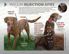 Insulin injection sites for dogs, created by the diabetic dog. Best Picture For Pet Care Dogs tips Im Injection Sites, Insulin Injection Sites, Dog Paws, Pet Dogs, Pets, Vet Med, Diabetic Dog, Body Heat, Pet Health