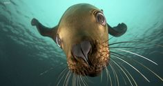 Seal animal Pictures on Animal Picture Society