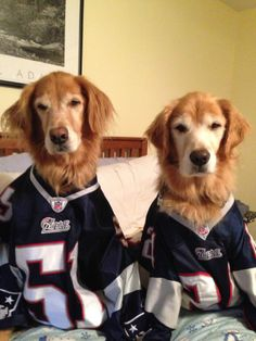 These golden retrievers are ready for tonight's Patriots game. Are you? #Patriots