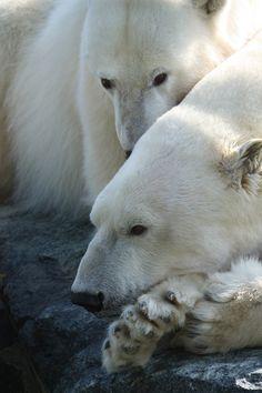 Eisbär, Stuttgart, Zoo, Weiß