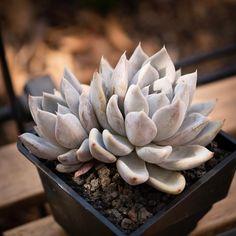 Echeveria 'Beverley' 贝弗利 2019-12-26 #succulents #多肉植物 #echeveria #拟石莲属 #多肉 #echeveriabeverly