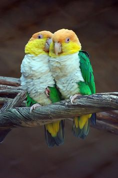 White-bellied Parrots