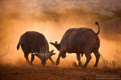 Cape buffalo (Syncerus caffer) by Etienne Oosthuizen - Photo 130858605 - 500px