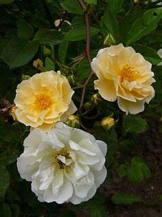 Hybrid Multiflora Rambling Rose Rosa Goldfinch U K 1907 Blooming