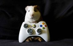 Here Is A Guinea Pig Who Is Determined To Beat The Boss On This Level.