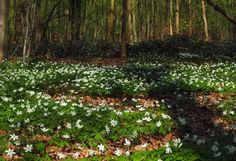 im Hackenbroicher Frühlingswald