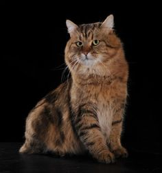 Tabby Siberian Cat Pretty Cats, Beautiful Cats, Animals Beautiful, Cute Animals, Siberian Forest Cat, Siberian Cat, Exotic Shorthair, British Shorthair, Big Cats