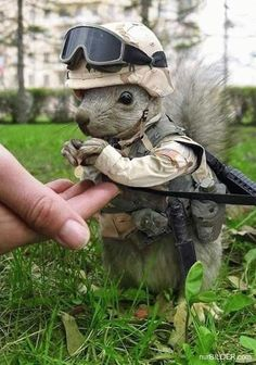 Yes, this squirrel has joined the army.