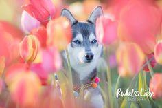 LIVE WILD LITTLE HIPPIE FLOWER CHILD 💘www.rudelliebe.de //   #hund #frenchbulldog #dog #dogs #halsband #dogsofinstagram #goldenretriever #instadog #dogstagram #dogoftheday #continentalbulldog #retriever #labrador #dobermann #instapets #puppy #indian #dalmatiner #hundehalsband #labrador #labradoodle #jackrussel #mops #pets_of_instagram #irishsetter #australianshepherd #beagle #französischebulldogge #bully #dackel #bullysofinstagram