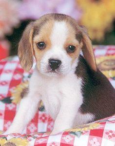 angel beagle puppy.