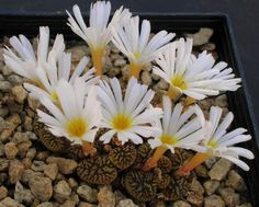 Conophytum pellucidum v.neohallii