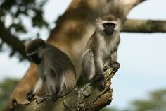 Ouganda - singes dans les plaines d'Ishasha (safari)