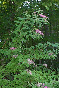 Spiraea japonica, whole tree or vine - general