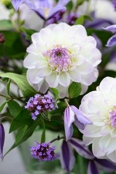 Dahlias are popular flowers in many a temperate garden, and exist in many cultivars. Learn how to grow dahlia plants so you can obtain the best blooms. Exotic Flowers, Amazing Flowers, My Flower, Pretty Flowers, Purple Flowers, White Flowers, Flower Power, Purple Dahlia, White Dahlias