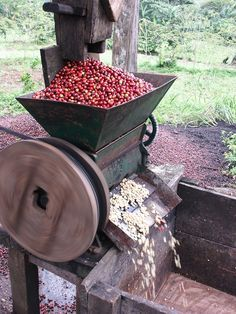 Coffee ''cherry'' pods are pressed in a mill with a toggle which frees its grains - Nicaragua.