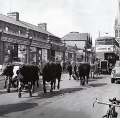 Cattle being driven to old cattle mart in Phibsborough, Dublin. via @PhotosOfDublin