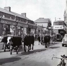 Cattle being driven to old cattle mart in Phibsborough, Dublin. via @PhotosOfDublin