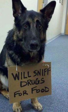 Will sniff drugs for food. Funny Animal Photos, Funny Animals, German Shepherd Memes, German Shepherds, K9 Kennels, Animal Lover Quotes, Police Dog Training, Military Working Dogs, Schaefer