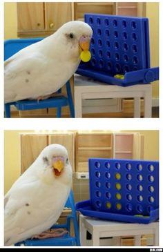 19 funniest animal facts and moments Funny Animal Facts, Funny Animals, Cute Animals, Cute Birds, Pretty Birds, Beautiful Birds, Crazy Bird, Bird Toys, Budgies