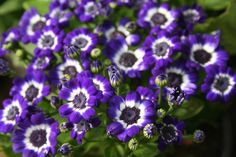 Act 3 - Prop White-Purple Flower - Love-in-idleness