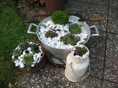 Skalnice (Sempervivum)   Kvety a Záhrada