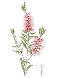 RHS Hampton Court Palace @RHS Flower Show Australian Flora Exhibition, July 2017 - Callistemon laevis