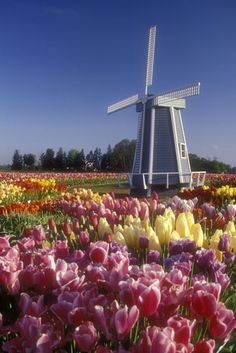 Tulip field with windmill. The Netherlands.