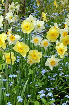 Forget-me-nots and daffodils