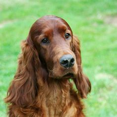Reports are flooding the Internet about a dog who died shortly after competing at the Crufts dog show in England. The three-year-old Irish Setter named Thendara Satisfaction (also called Jagger) co...