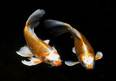Koi by Bitter Jeweler, via Flickr