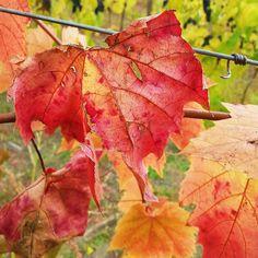 Tattered and torn but still showing beautiful fall colors. . . . . . . #OkanaganLens #Okanagan #OkanaganLife #RURAL #countryside #country #farm #fields #farming #Autumn #InstaOkanagan #thelightlaughed #seasons #Nature #AutumnColors #Fallleaves #OkanaganLove #Seasons #Nature #weather #exploreBC #wineries #wine #vines #grapevine #vineyards