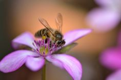Hepatica with a bee