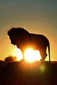 Lion with Sunset or Sunrise, Nature is Beautiful. Amazing Animals, Animals Beautiful, Cute Animals, Beautiful Lion, Majestic Animals, Beautiful Images, Lion Love, Lion Of Judah, Tier Fotos