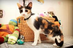 Tyra - URGENT - City of Corsicana Animal Shelter, Corsicana, Texas - ADOPT OR FOSTER - 10 MONTH OLD Spayed Female Domestic SH - Tyra is one of the most beautiful calico cats you will ever see. Her gorgeous bright orange and midnight black spots make her a true beauty. Tyra is already spayed and is ready for a home of her own! Tyra is sweet, playful, good with other cats and will make the purrfect forever friend for YOU!