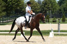 appaloosa sport horse - Google Search