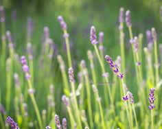 Lavender Picture Fine Art Photography Nature