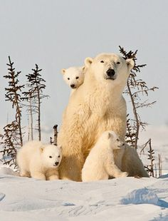 A happy polar family~three cubs is exceptionally rare!!