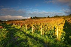 In Slovakia, you can taste delicious TOKAJ WINE, grown close to the city of Košice. Tokaj wine is famous for centuries and it was a favourite wine of King Luis XIV and Queen Maria Theresa.