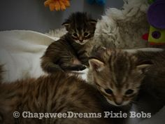 Pixie Bob Kittens, Greatest Mysteries, Domestic Cat, Cats, Animals, Gatos, Animales, Animaux, Animal