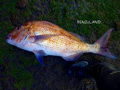 Big Snapper Off The Rocks I – Great Barrier Island