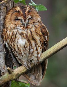 Tawny Owl By davidwilliamsnaturephotography
