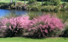 Pink Muhly GrassPink Muhly Grass (Muhlenbergia capillaris) - For a beautiful yet low maintenance ornamental, start Pink Muhly Grass seeds, and enjoy the movement and texture of this native grass. Ornamental grasses add beauty to the landscape as t. Garden Spotlights, Pink Grass, Pink Cotton Candy, Cotton Candy Grass, Grass Seed, Plants Online, Types Of Soil, Ornamental Grasses, Ornamental Grass Landscape