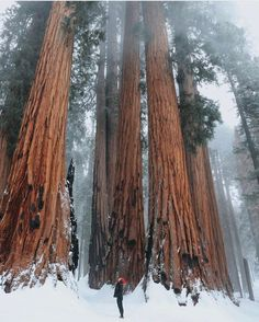 Among giant trees in Sequoia National Park — Photography by @_ellelu