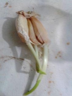 Esta matéria surgiu porque a leitora Elizete Canavelo quis saber se poderia plantar alho em casa.É que alguns dentes de alho que Elizete tinha na sua residência estavam em adiantado processo de germinação, como podemos ver na imagem abaixo.